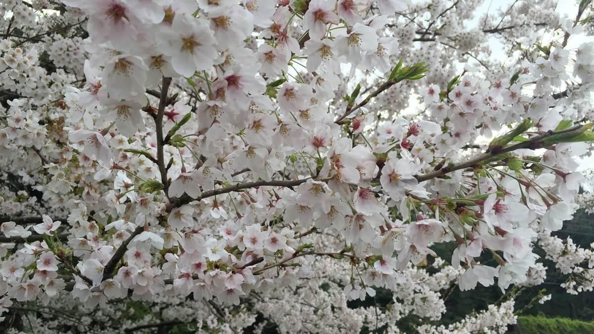 滋賀県 桜 おすすめ